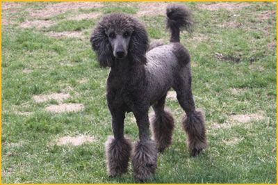 Magisterial Standard Poodles Poodle Giant Schnauzer Schnauzer