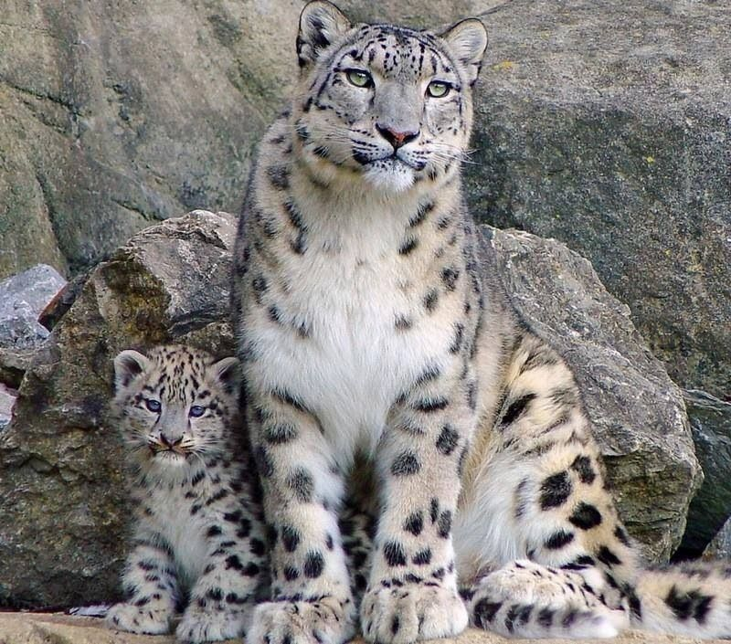 Leopardo das Neves. Lindo! Está quase em extinção.   Baby ...