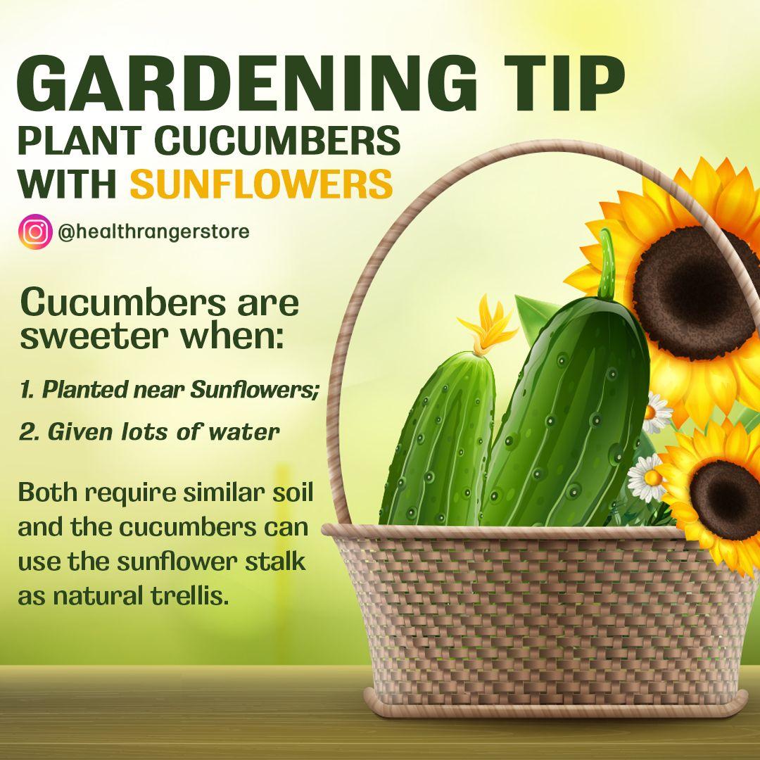 Gardening tip plant cucumbers with sunflowers gardening