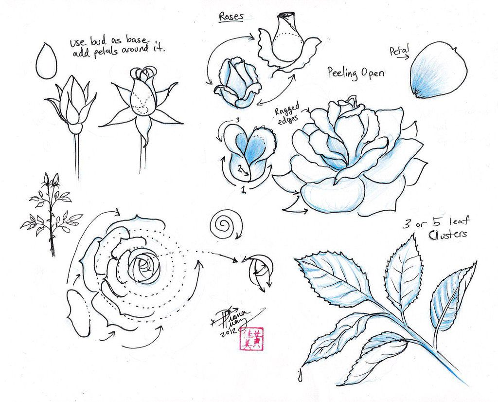 Draw Roses By ~dianahuang On Deviantart ( Draw The Rose Flower From The