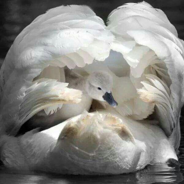 Swan & chick