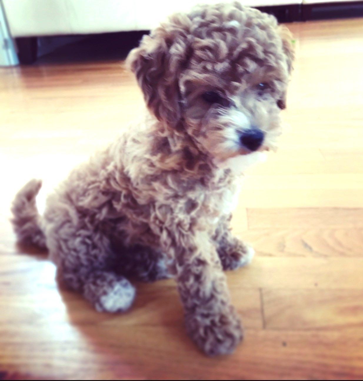 Kaia Help Needed Is An Adoptable Dog Poodle Bichon Frise
