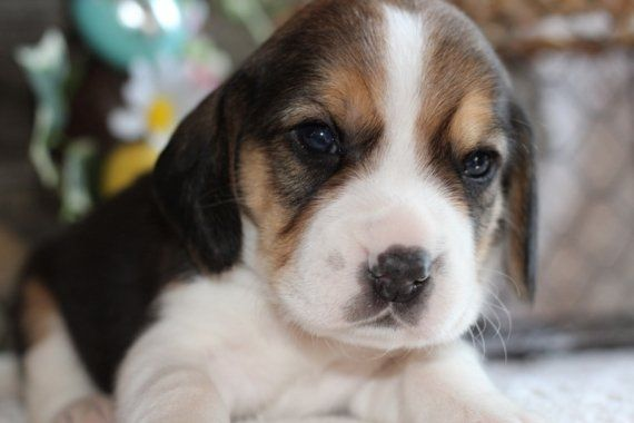 Walt Is A Male Beagle Puppy For Sale At Puppyspot Call Us Today