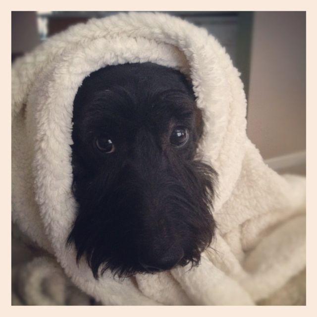 About Us | Aww | Scottie dog, Schnauzer, Scottish terrier