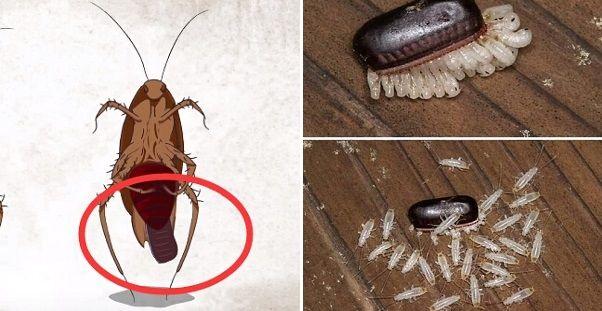 蟑螂一次產卵數百隻 你家床底一定有 幾招 消滅蟑螂卵 必學招式