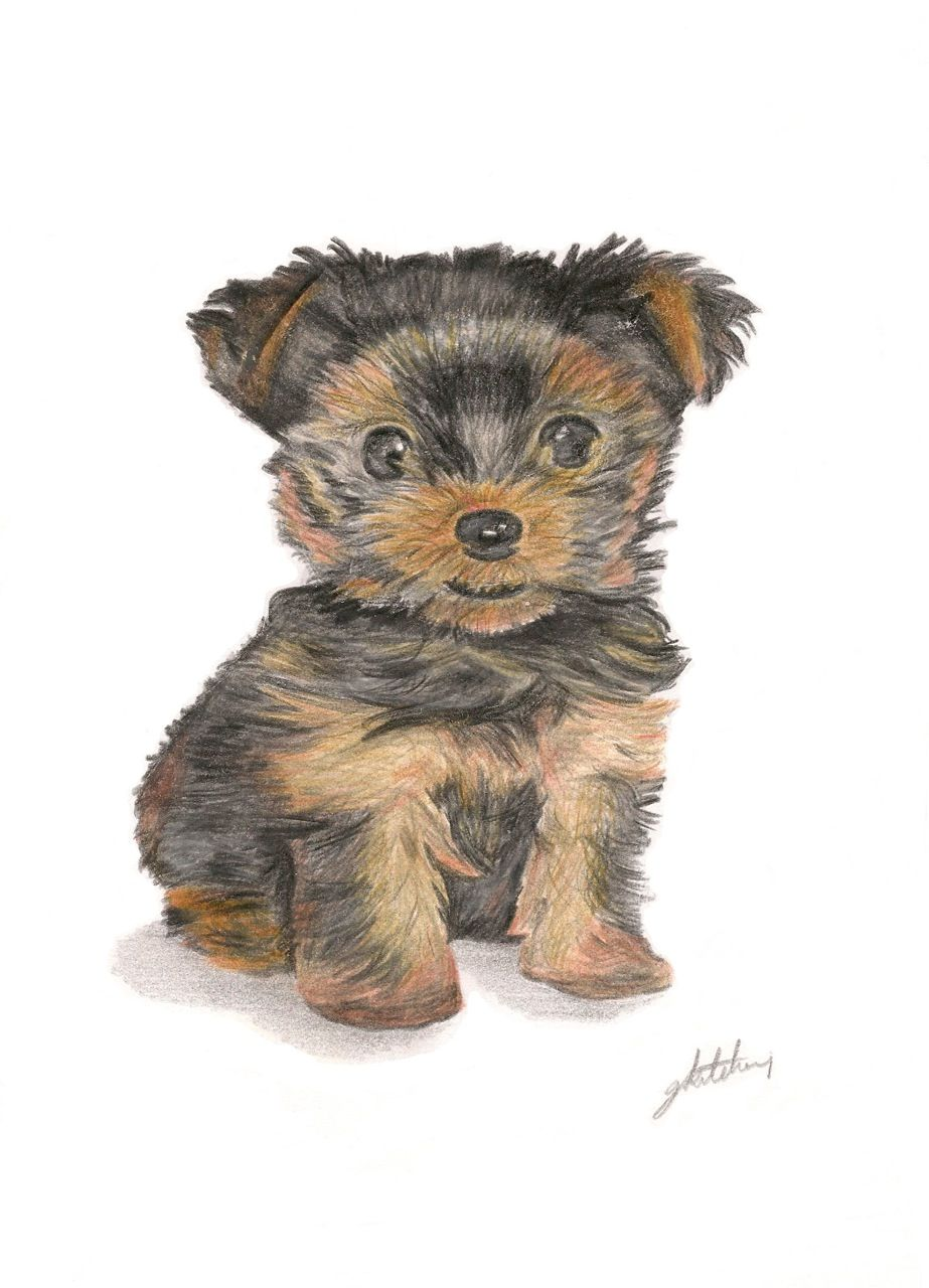 Yorkshire Terrier Puppy A4 Coloured Pencil Yorkie Beautiful Drawings Color Pencil Art
