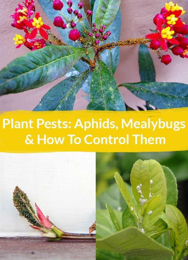 Plant Pests Aphids, Mealybugs & How To Control Them – Plant pests