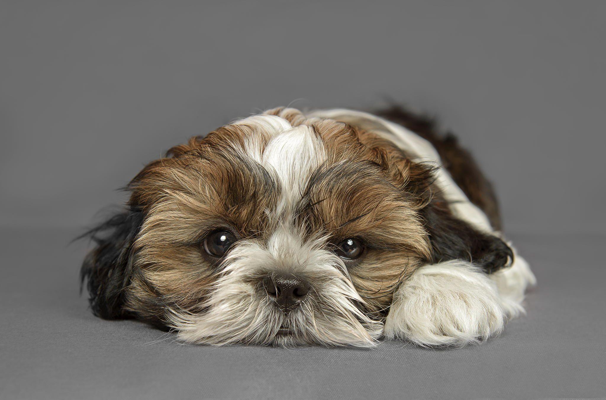 Evis Lovely Shih Tzu Puppy Miki A Aranka Shih Tzu Shih Tzu