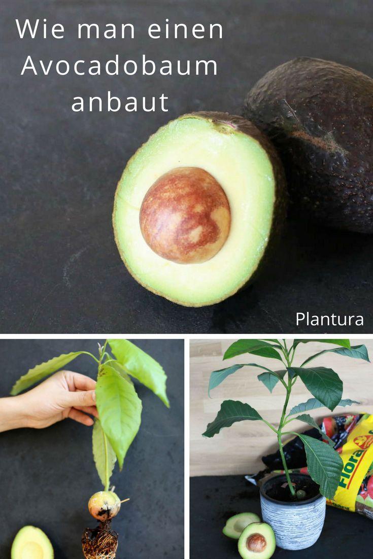 avocadokern einpflanzen vermehrung anbau leichtgemacht garten ideen tipps pinterest. Black Bedroom Furniture Sets. Home Design Ideas