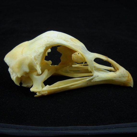 Real Domestic Chicken Skull Taxidermy Skeleton Bones Esqueletos