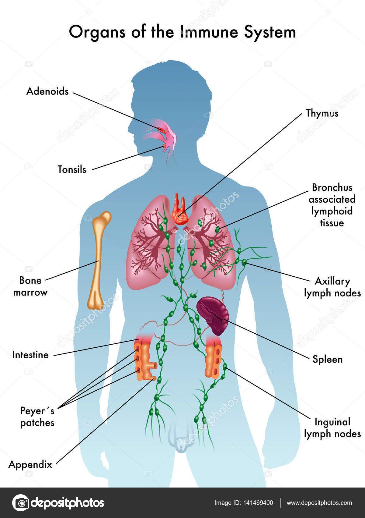 Immune System In