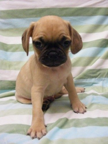 puggle puppies for sale in nj Zoe Fans Blog Cute Baby