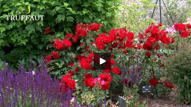 taille rosier buisson jardin pinterest rosier taille rosier et rosier buisson. Black Bedroom Furniture Sets. Home Design Ideas
