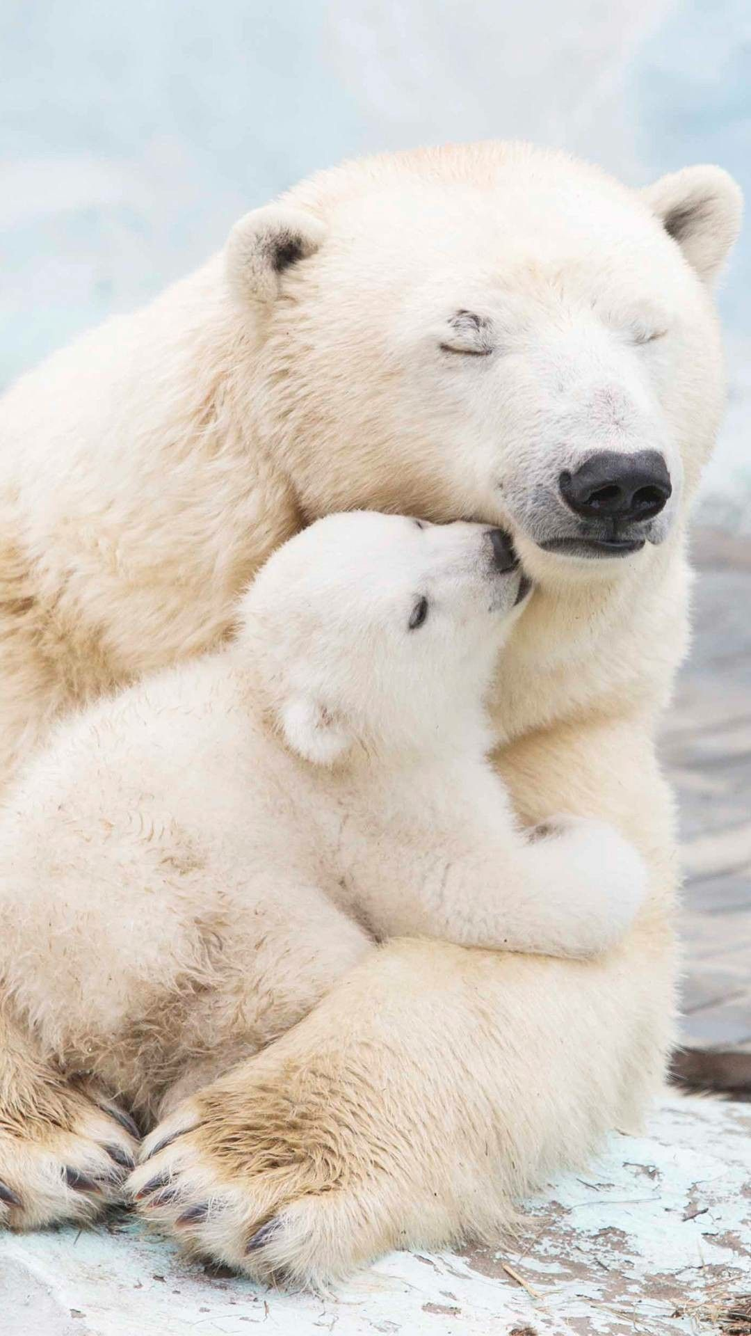 Mama Bear protecting her Young. Polar bears are hugely