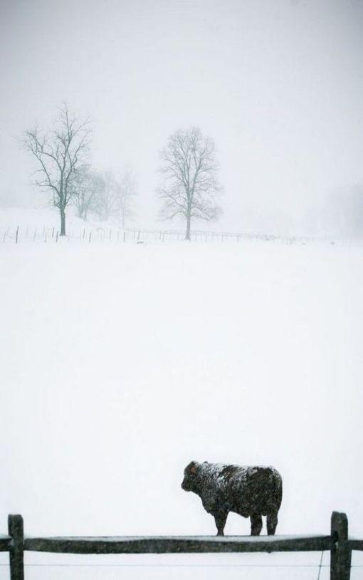 Black Angus Rinder sind eine sanftmütige, aber unglaublich zähe Rasse. Mehr zu unseren Rindern, findet ihr auf unserer Webseite. www.ranchinvest.de