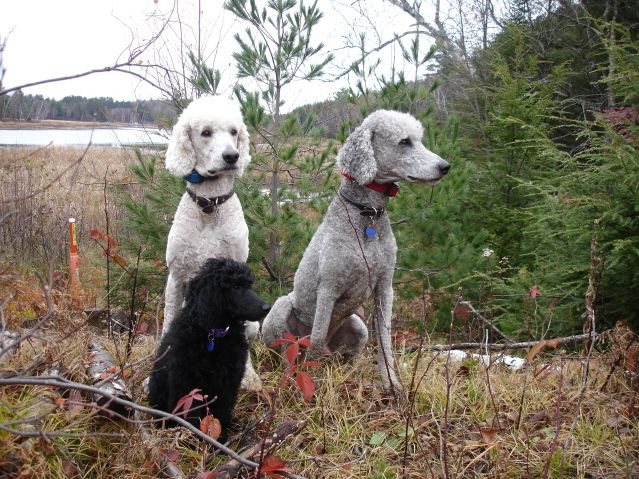 Hunting Poodles Something I Would Do If I Were About 20 Years