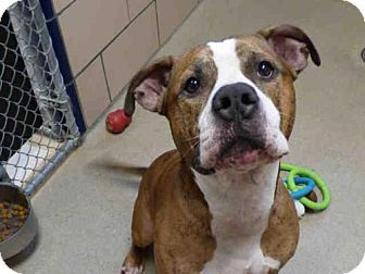 Fort Wayne, IN - American Bulldog/Pit Bull Terrier Mix. Meet BIGGS, a dog for adoption. http://www.adoptapet.com/pet/16735300-fort-wayne-indiana-american-bulldog-mix