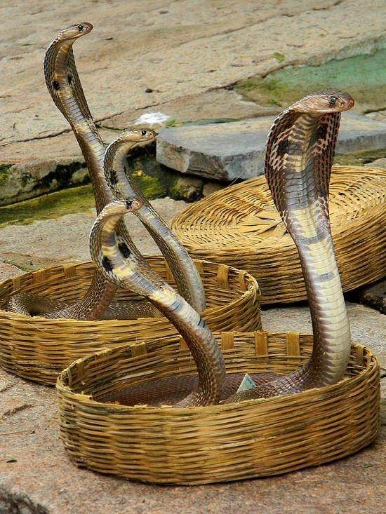 Indian Cobra With Images Indian Cobra King Cobra Snake