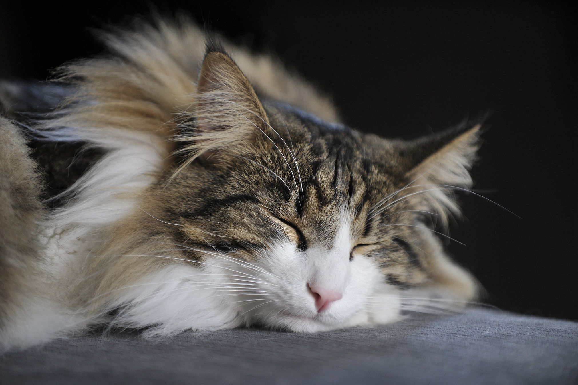 Learn more about the history of norwegian forest cats and
