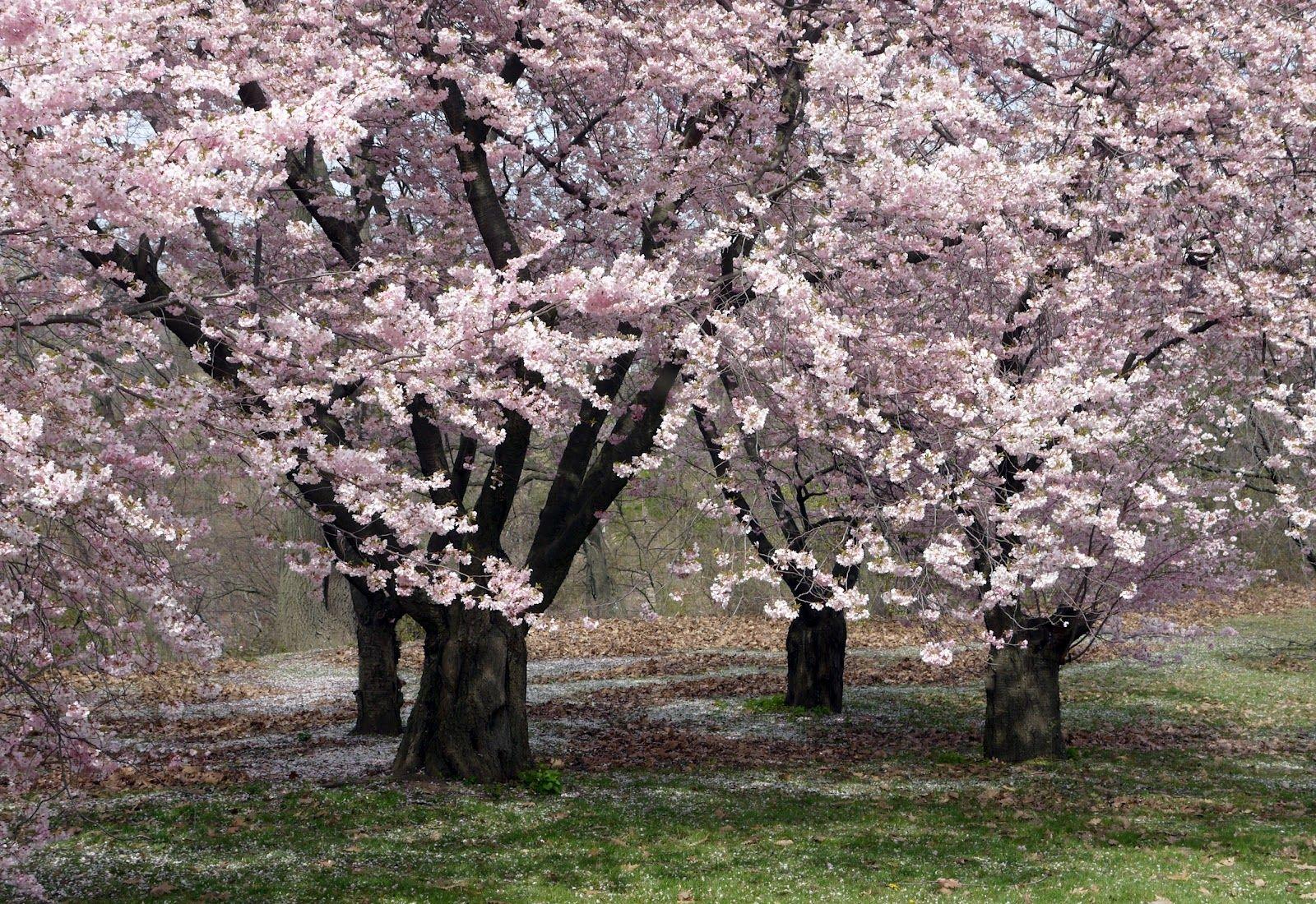 Sense and Simplicity: Cherry trees