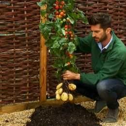 TomTato : Experimentando , una planta que da tomates y patatas