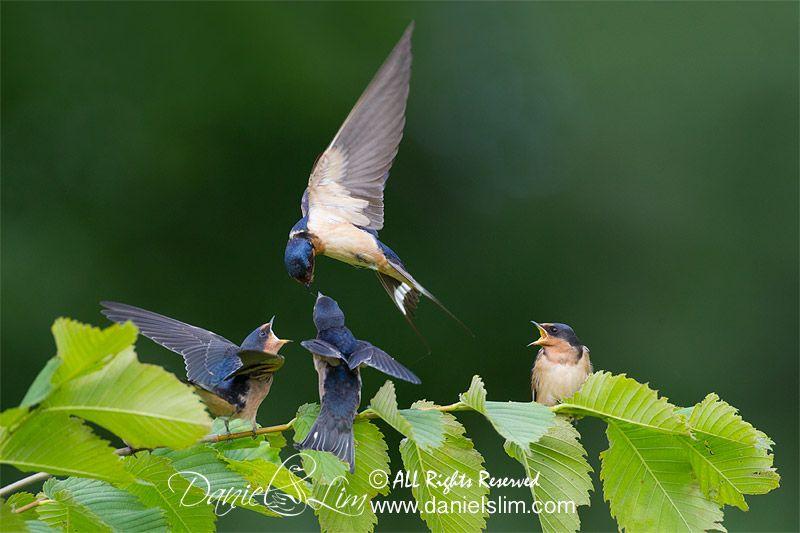 Barn Swallow feeding a trio of juvenile   Hirondelle