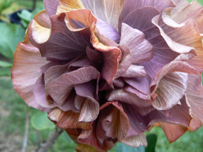 PRIDE OF HANKINS Tropical Hibiscus Bush Plant Triple ... |Triple Hibiscus