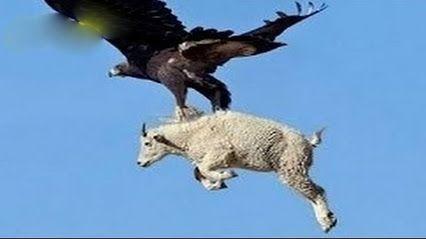 Lo Más Increíble Ataques De Animales Salvajes águilas Atacan Los Lobos Ciervos Fotos De Animales Salvajes Cazar Animales Aves Rapaces