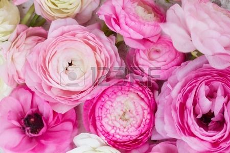 Pink And White Ranunculus Flowers Close Up Background Ranunculus Flowers Pink Flowers Floral Background
