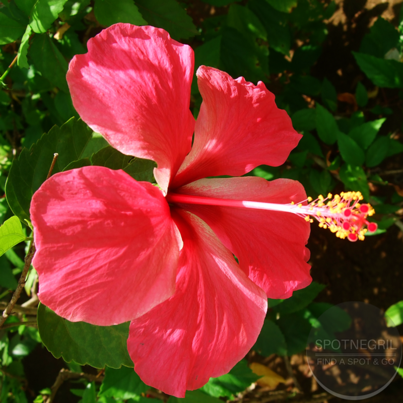 Hibiscus flower for your thoughts? Negril, Jamaica