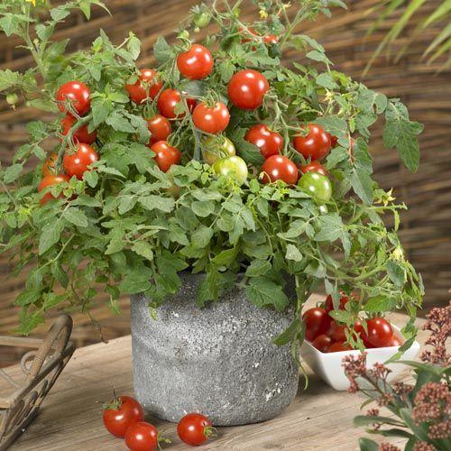 Patio Tomato Collection U0027Donnau0027 And U0027 ...