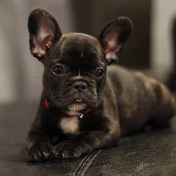 Thinking Puppy Thoughts Bulldog Puppies French Bulldog Puppies Cute Animals