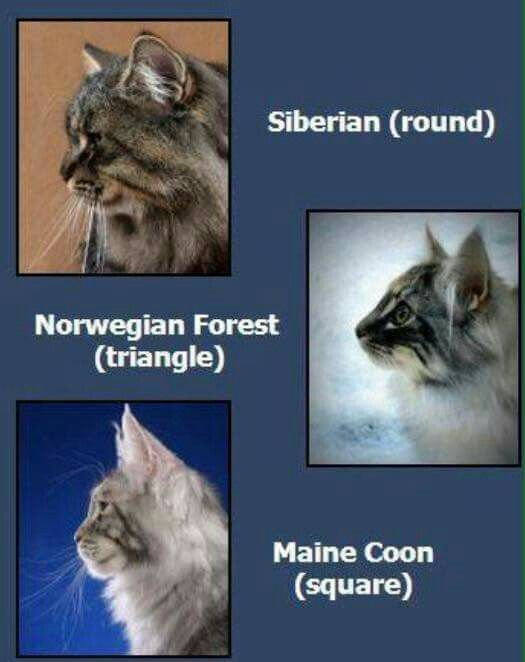 Head Shape Norwegian Forest Cat Siberian Forest Cat Forest Cat