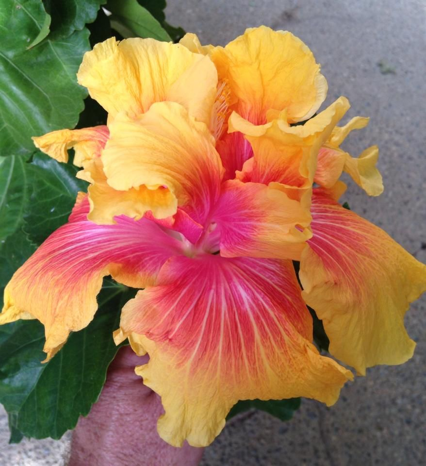 Island Queen Second Day Thomas N Hibiscus Pinterest Queens