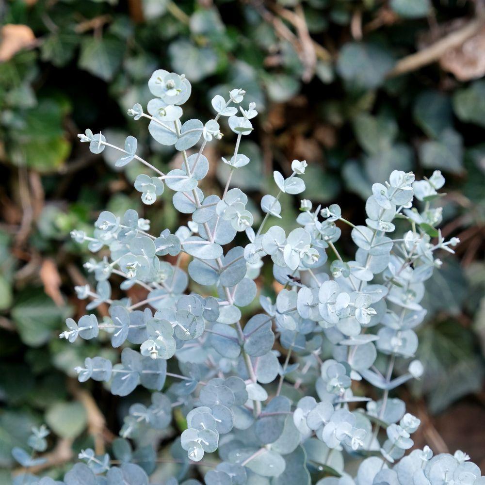 Eucalyptus Gunnii Azura In 2020 Small White Flowers Plants Eucalyptus