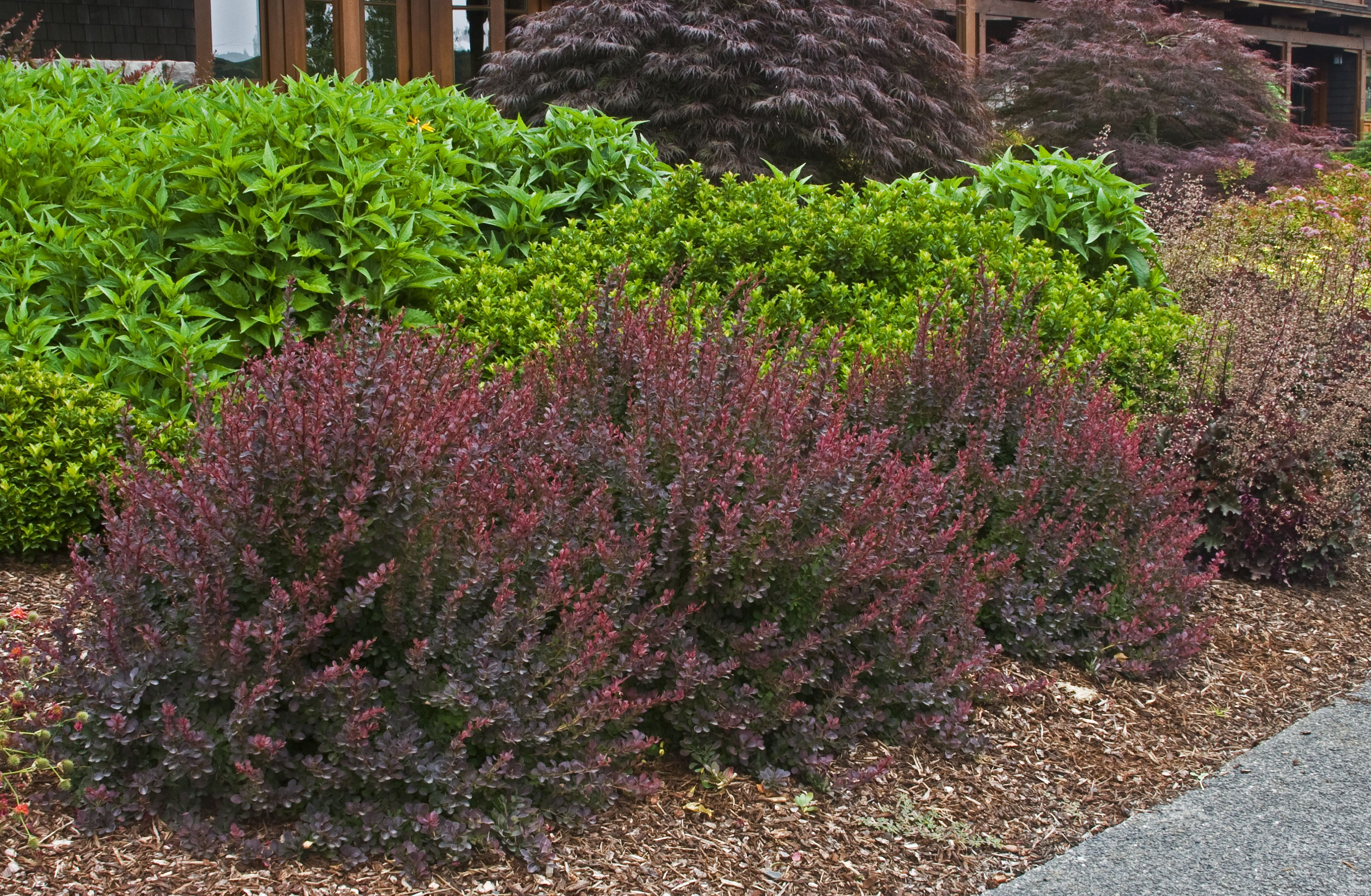 This Is The Barberry That S In Awesome Pic Form Houzz Bookmarks Bar Royal Burgundy Monrovia