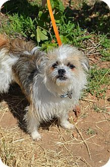 Vacaville Ca Shih Tzu Terrier Unknown Type Medium Mix Meet Peggy Sue A Dog For Adoption Pets Dog Adoption Kitten Adoption