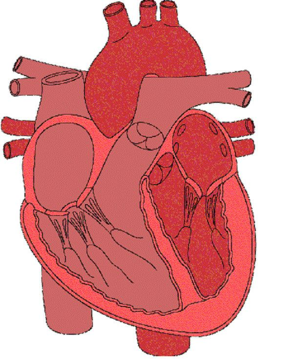 Circulatory System Diagram without Labels Inspirational ...