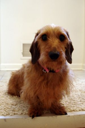 This adorable wirehaired dachshund sometimes goes by Noodles, but is usually called Prada. Aug 13, 2012