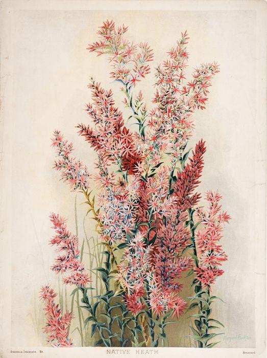 Sprengelia Incarnata Native Heath Botanical Flower Art Wildflower Paintings Botanical Art