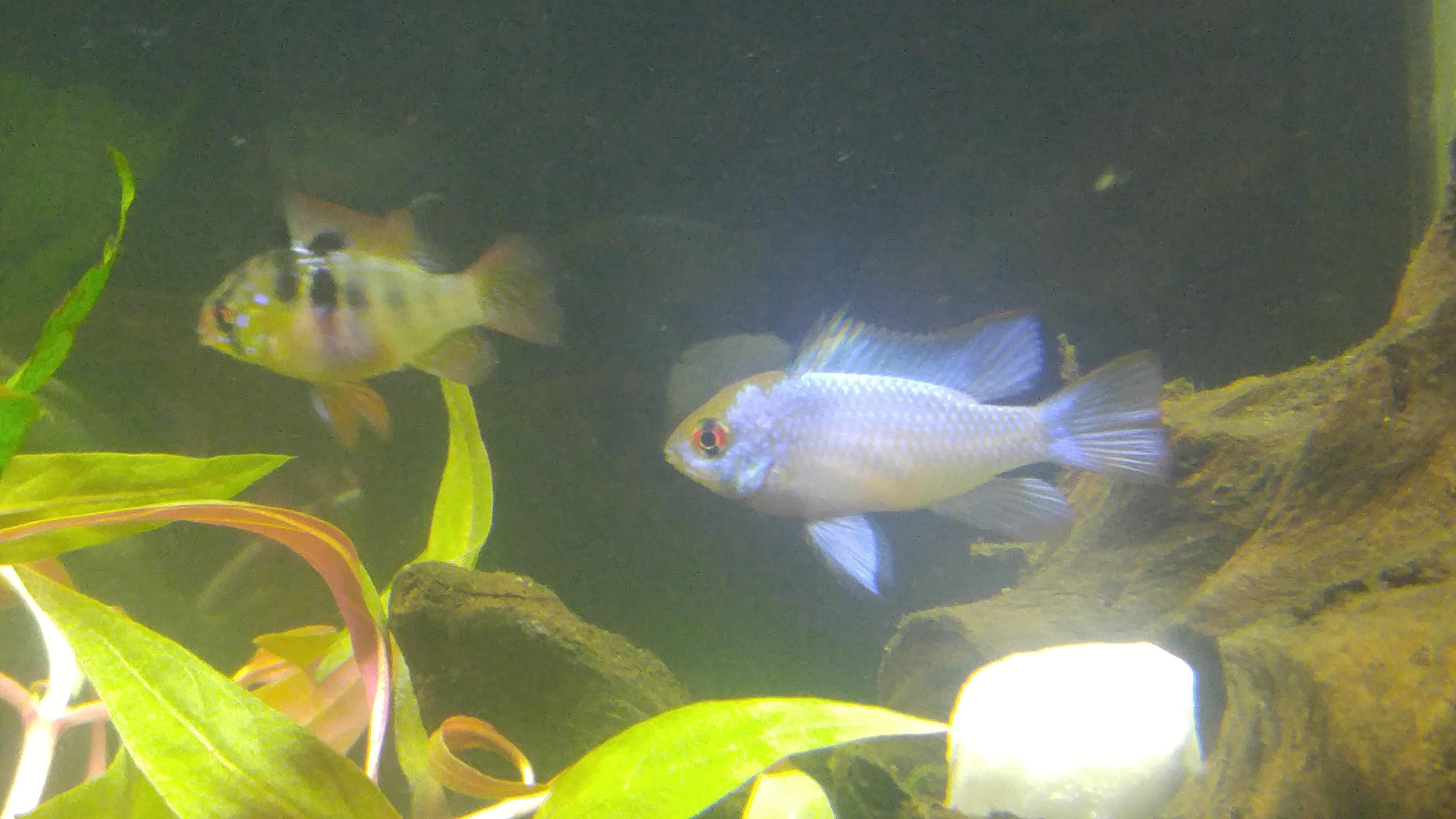 Rams and angels digging aquariums pinterest aquariums