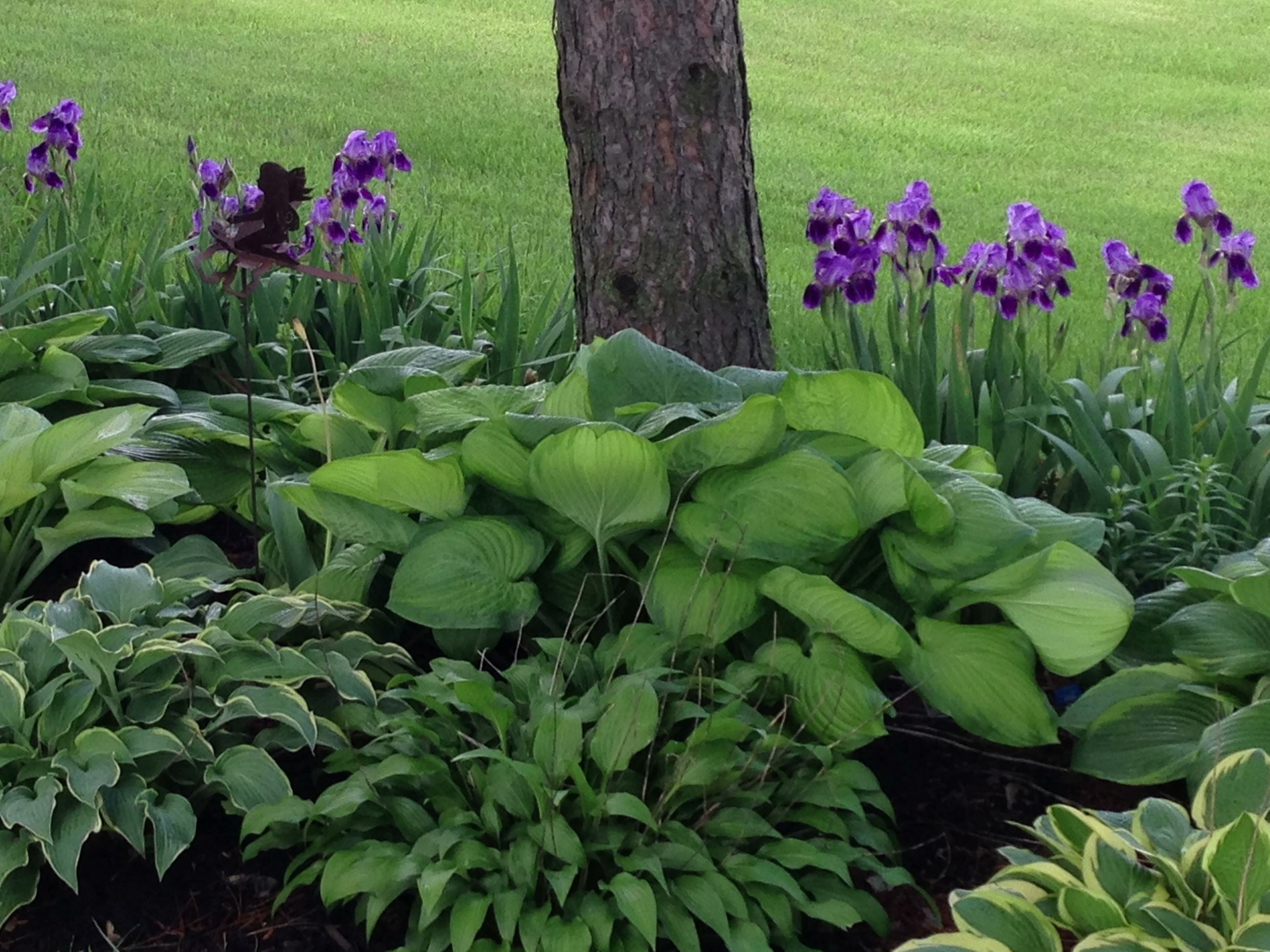 Hostas And Bearded Iris Beautiful I Didn T Know They Were Shade Iris Shade Plants Flower Garden Plans Hostas