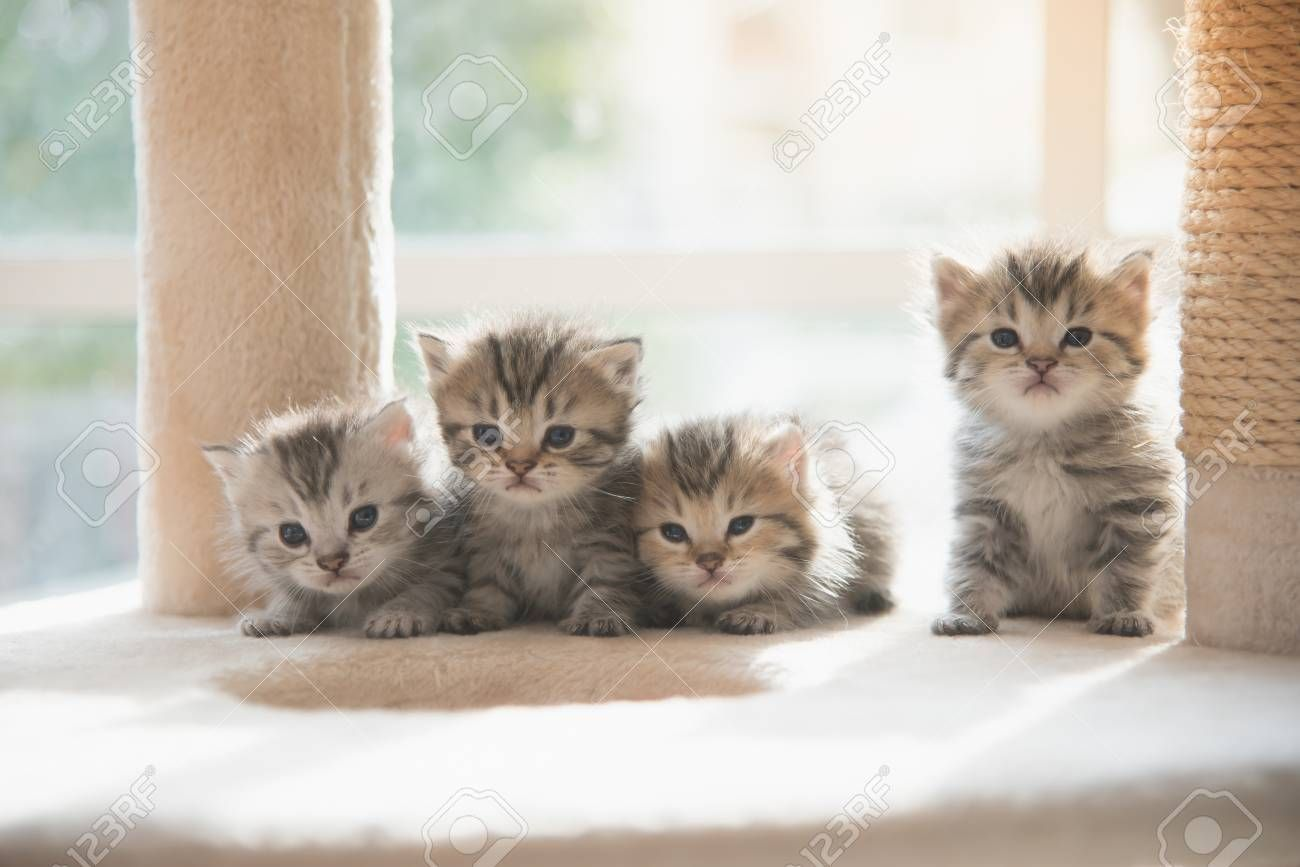 Group persian kittens sitting on cat tower Stock Photo , #ad, #kittens, #sitting, #Group, #persian, #Stock
