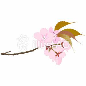 桜 イラスト リアル