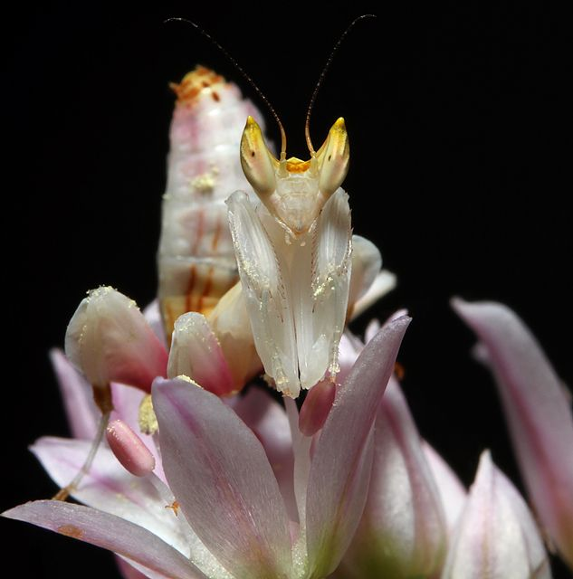 Orchid Mantis Nymph Orchid Mantis Orchids Nymph