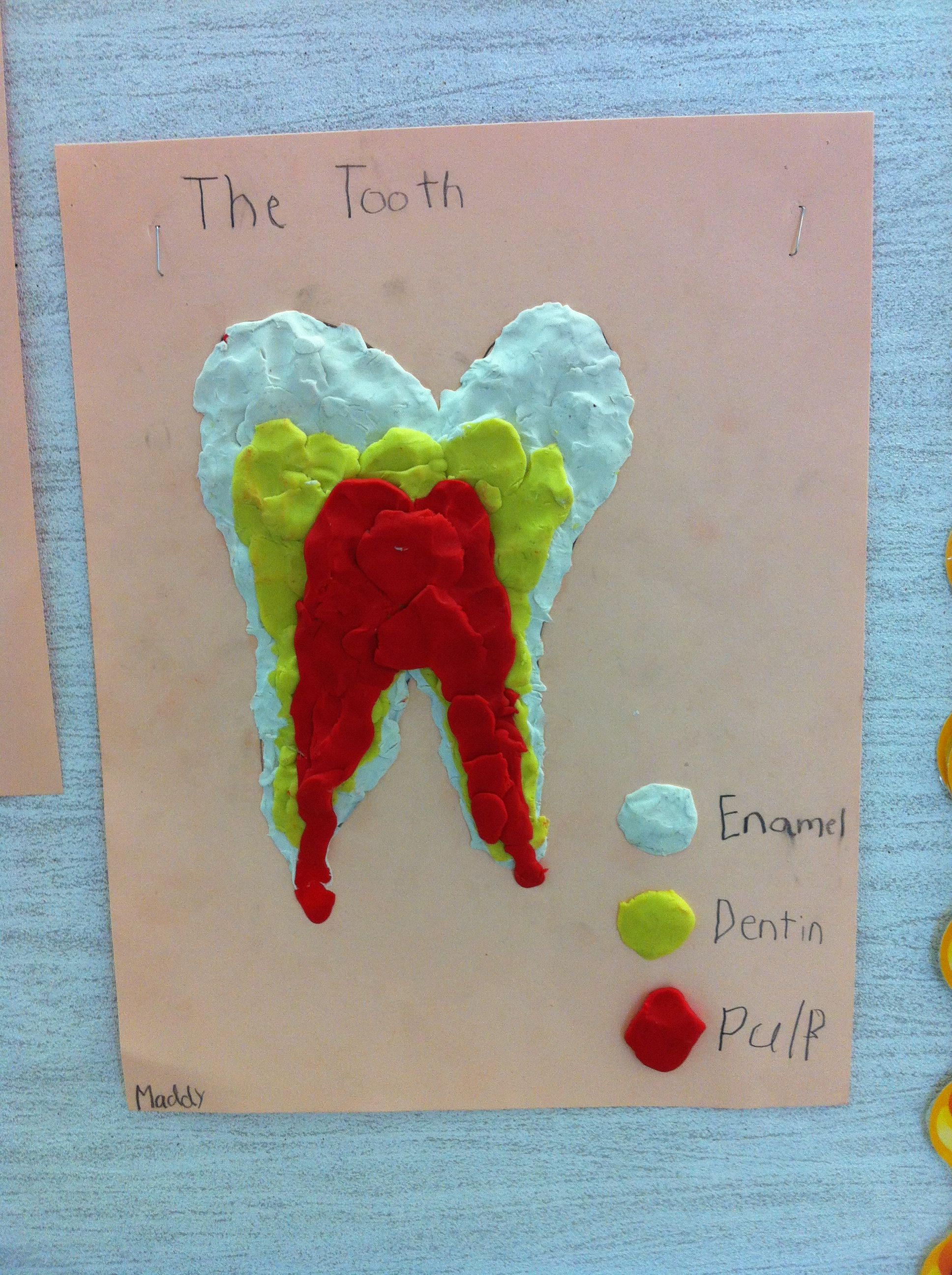 Parts Of The Tooth My Grade 2 Students Used Plasticine To