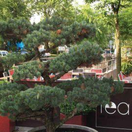 Pinus parviflora 39 negishi 39 acheter vos arbres chez le for Jardin zen acheter