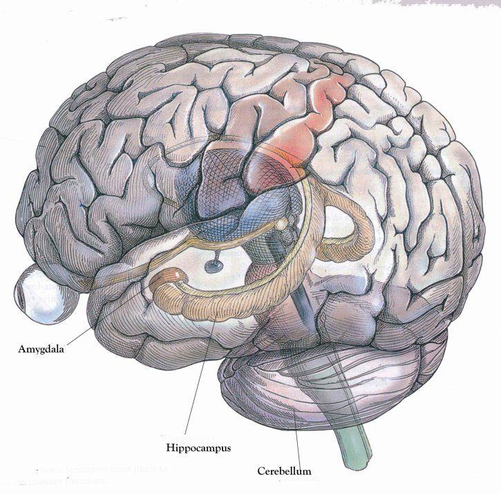 hippocampus - Google Search   Neuroanatomy   Pinterest   Ptsd ...