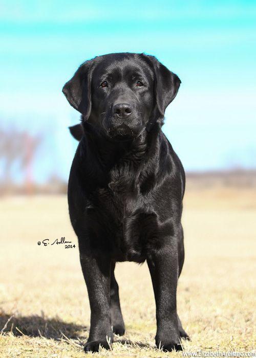 English Labrador Retriever Honden