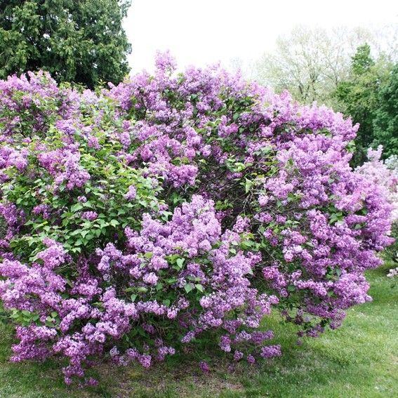 flieder syringa hyacinthiflora 39 pocahontas 39 lila flieder. Black Bedroom Furniture Sets. Home Design Ideas